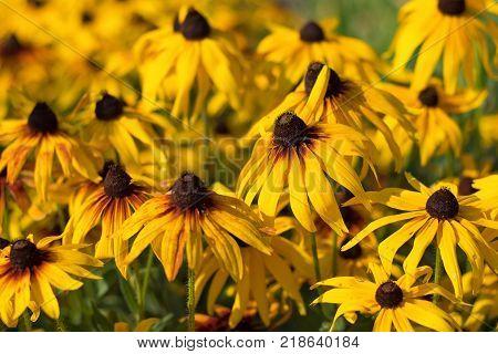 Rudbeckia or black eyed susans flowers in garden