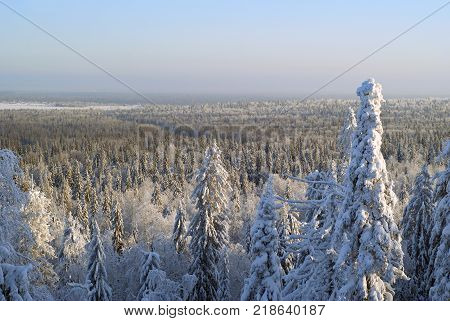 winter forest landscape on a clear frosty day: fir trees covered with dazzling snow against a blue sky
