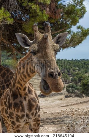 Head of Giraffa camelopardalis rothschildi with mouth open against green foliage. Front on view. Safari Aitana, Penaguila, Spain
