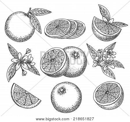 Hand drawn orange. Blossom citrus orange fruit on branc vintage ink sketch isolated on white background, vector illustration