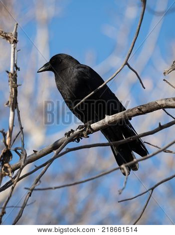 Close up of a black crow sitting on a dead tree branch with blue sky and out of focus branches in the background. Shallow depth of field. Photographed in profile.