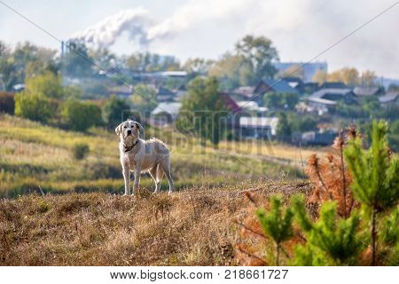 white dog with a collar around the countryside with a Smoking pipe manufacturing, Russia and the periphery