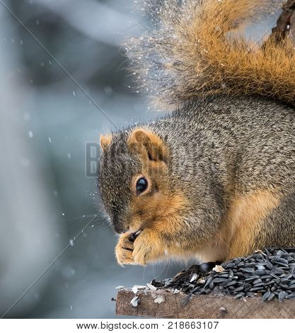 Close up of a squirrel in profile eating a sunflower seed while sitting on a perch. He eats during a snow storm.