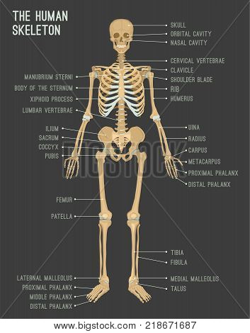 Human Skeleton Image. Vector Illustration Isolated On A Dark Grey Background Useful For Creating Med