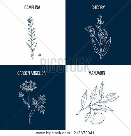 Set of four hand drawn eatable and medicinal plants, camelina, chicory, garden angelica, mandarin