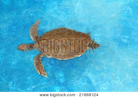 Green sea Turtle Chelonia mydas  Cheloniidae in  Caribbean sea surface