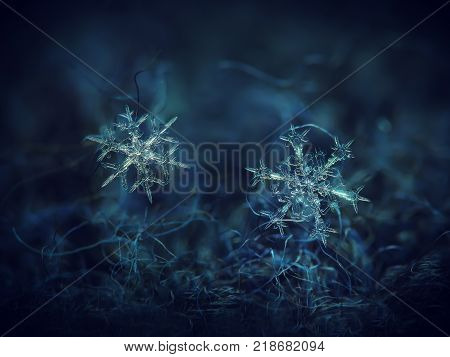 Two snowflakes glowing on dark blue textured background. Macro photo of real snow crystals: large stellar dendrites with long, elegant arms, complex ornate shapes and thin, transparent structures.