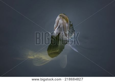Close-up of caught pike fish trophy in water. Fishing background poster