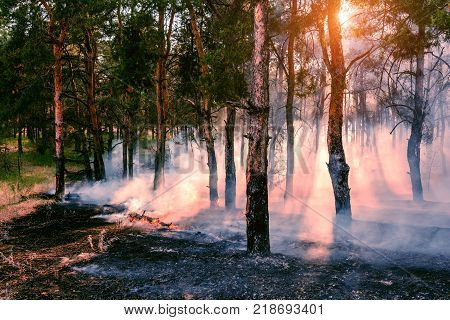 Forest fire. Burned trees after wildfire pollution and a lot of smoke