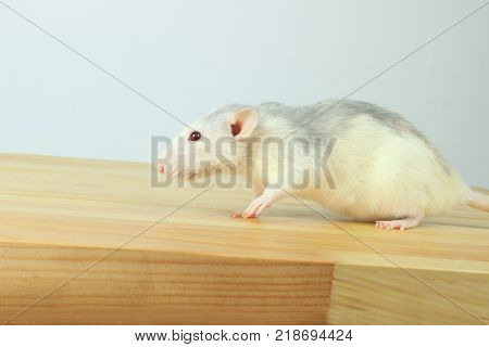 Cute White Rat On Wooden Table. White Rat. Cute Little Mouse on The Floor. Zoophobia, Pets, Rodents Concept. Rat Scare.