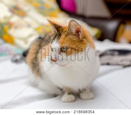 Close-up view of female tricolor cat with green eyes and red spot on the nose, sitting on the bed
