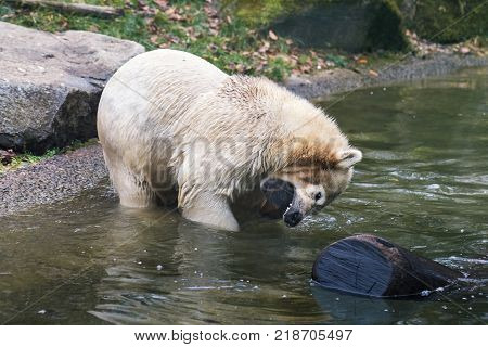 Polar bear (Ursus maritimus) cub playing with tree log in the river