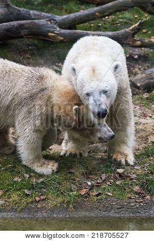 Polar bear (Ursus maritimus) mother and her cub
