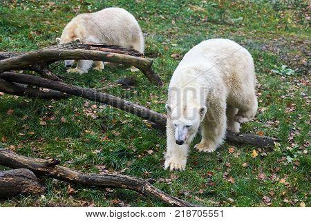 Two polar bears (Ursus maritimus) walking on grass
