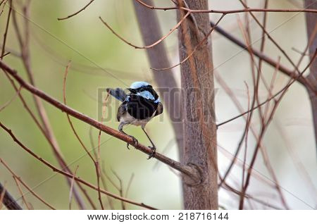 Adult male Superb Fairy Wren, Malurus cyaneus, singing while perched in dead tree branches at Wyangala, central west NSW, Australia. Front view.