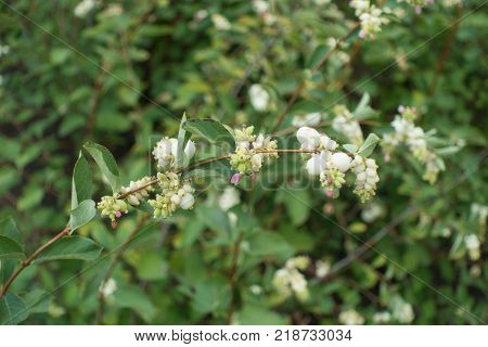 Symphoricarpos albus branch with flowers and berries