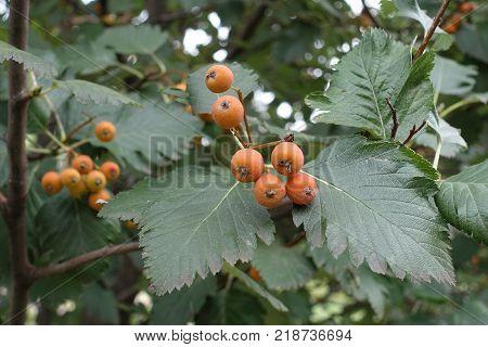 Orange fruits and leafage of whitebeam tree
