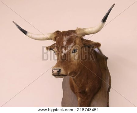 A Mounted Texas Longhorn Head Hanging Alone on a Wall