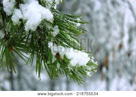 Christmas tree in the snow. Snow on the pine. Winter forest. The spirit of Christmas. The snow on the branch. Fir under snow