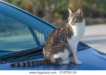 Wild and homeless cat on a car. Abandoned cat looking in camera. Adopt a cat concept photo. Domestic cat lost. Adoption of a pet.