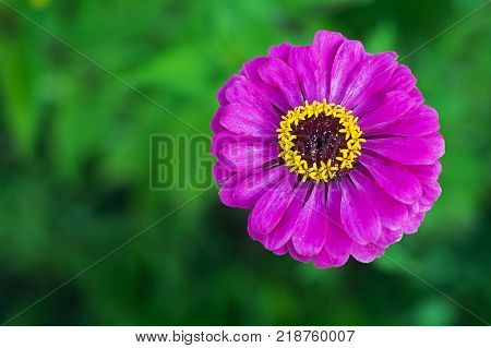 Purple zinnia flower on green background in a park. Close-up of blooming hot pink zinnia.