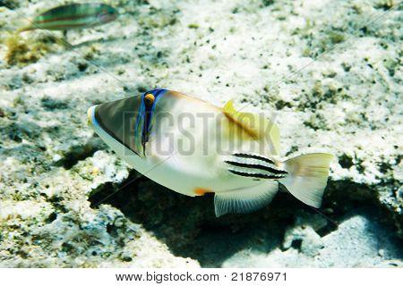 Picasso Triggerfish, v Rudém moři, Egypt
