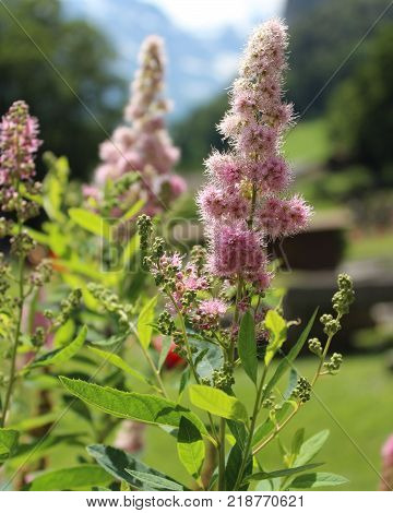 The pretty pink flowers of Spirea douglasii also known as Hardhack or steeple bush