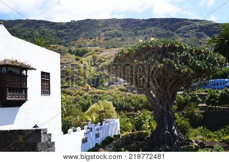 View of Icod de los Vinos with millennial Dragon tree and old houses in Tenerife, Canary Islands,Spain.