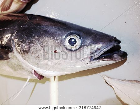 Fish On Slaughterer Table. Worker Cleaning And Filleting Fresh Sea Cod Fish