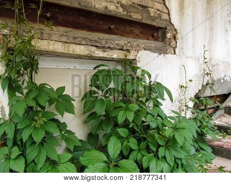 Stems of the five-finger growing on the stairs extend up covering an old shabby wall. A young juicy vivid green five-leaved ivy coverings an old shabby wall by its creepers