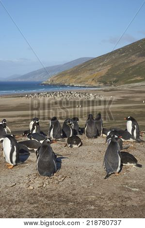The Neck on Saunders Island in the Falkland Islands home to multiple colonies of Gentoo Penguins Pygoscelis papua and other wildlife.