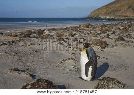 King Penguin Aptenodytes patagonicus standing on a sandy beach at The Neck on Saunders Island in the Falkland Islands.