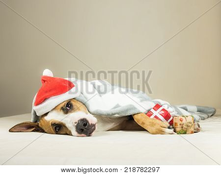 Funny staffordshire terrier puppy in christmas santa claus masquerade hat lays wrapped throw blanket in bed with new year present. Young pitbull dog with expressive eyes covered in plaid with gifts in paws poses in neutral indoor background