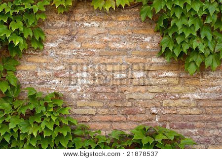 Ancient brick wall covered in ivy