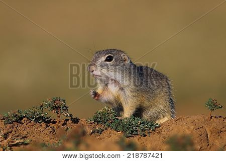 European ground squirrel (Spermophilus citellus) in natural habitat