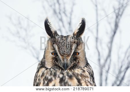 Long-eared owl (Asio otus) in natural habitat