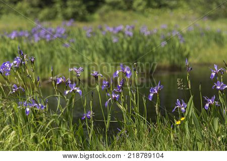 purple irises blooming around small Newfoundland pond in summer