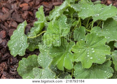closeup of alchemilla mollis leaves with rain drops