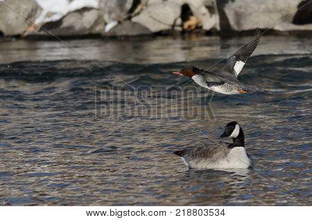 Common Merganser Flying Along the Cold Winter River