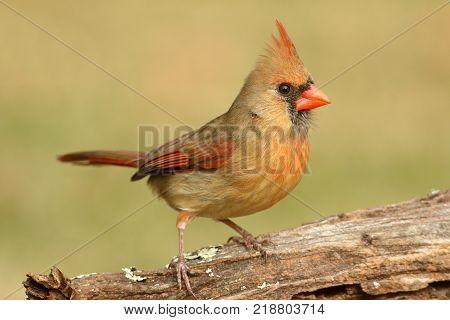 Female Northern Cardinal (cardinalis) on a log