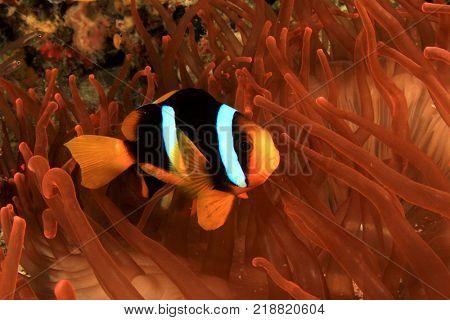 Clark's Anemonefish (Clownfish) fish