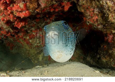 Bluespotted Puffer fish