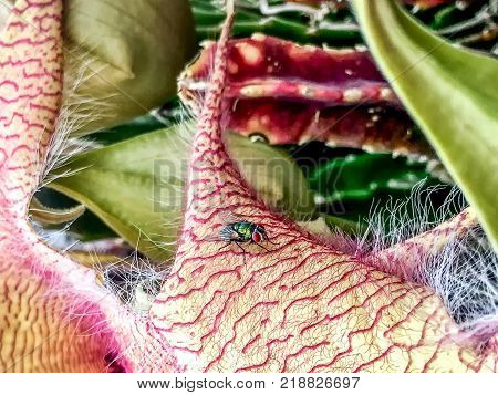 pink carrion flower (corpse flower) and a bug