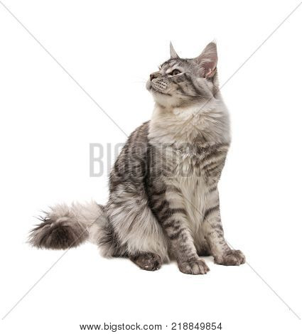 young maine coon cat on white background