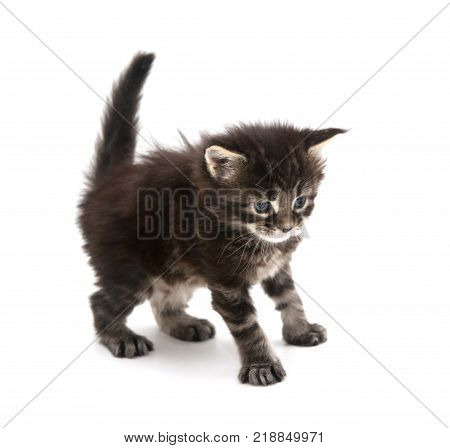 the small kitten  isolated on white background