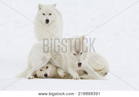 Arctic wolves Canis lupus arctos playing in the winter snow Canada