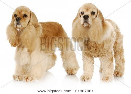 old and young dog - two american cocker spaniel dogs standing on white background - one 2 years old the other 9 years old poster
