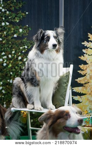 Australian Shepherd Dog at Dog Show Posing