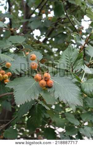 Branch of Sorbus aria with fruits and leaves