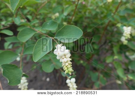 White berry like drupes of Symphoricarpos albus